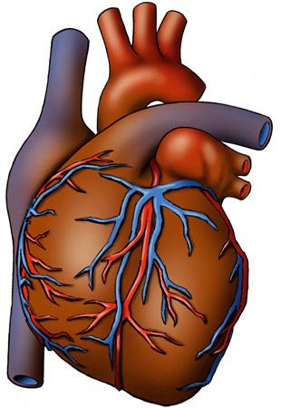 Pics Photos - Die Organe Des Menschen Das Herz